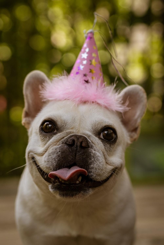 close-up photography of adult tan French bulldog