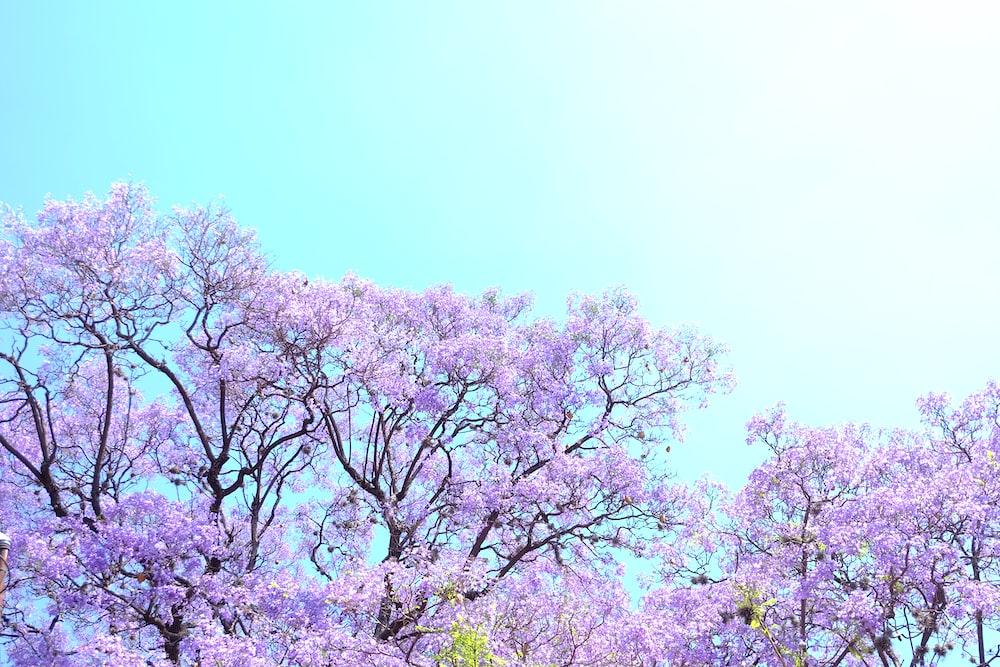 Blooming Purple Flowering Trees Photo Free Plant Image On Unsplash
