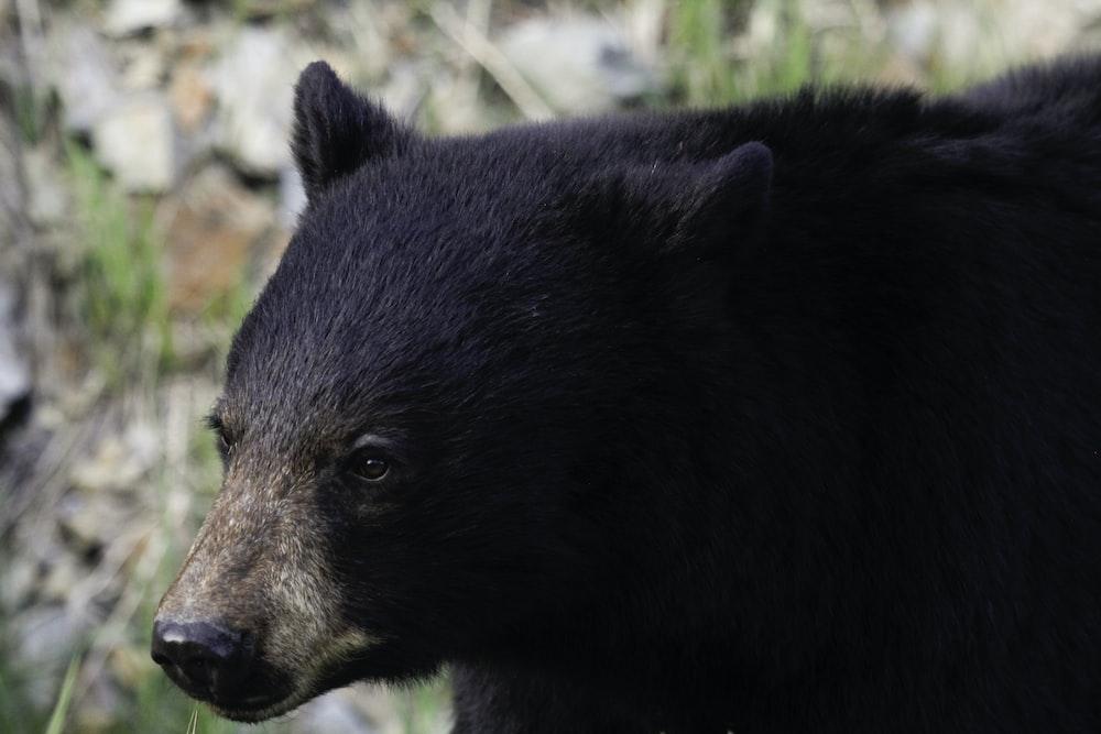 closeup photography of black bear