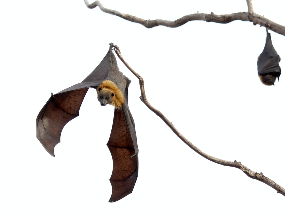 two brown-and-black bats on brown wood branches