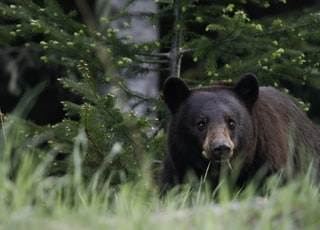 shallow focus photo of grizzly bear