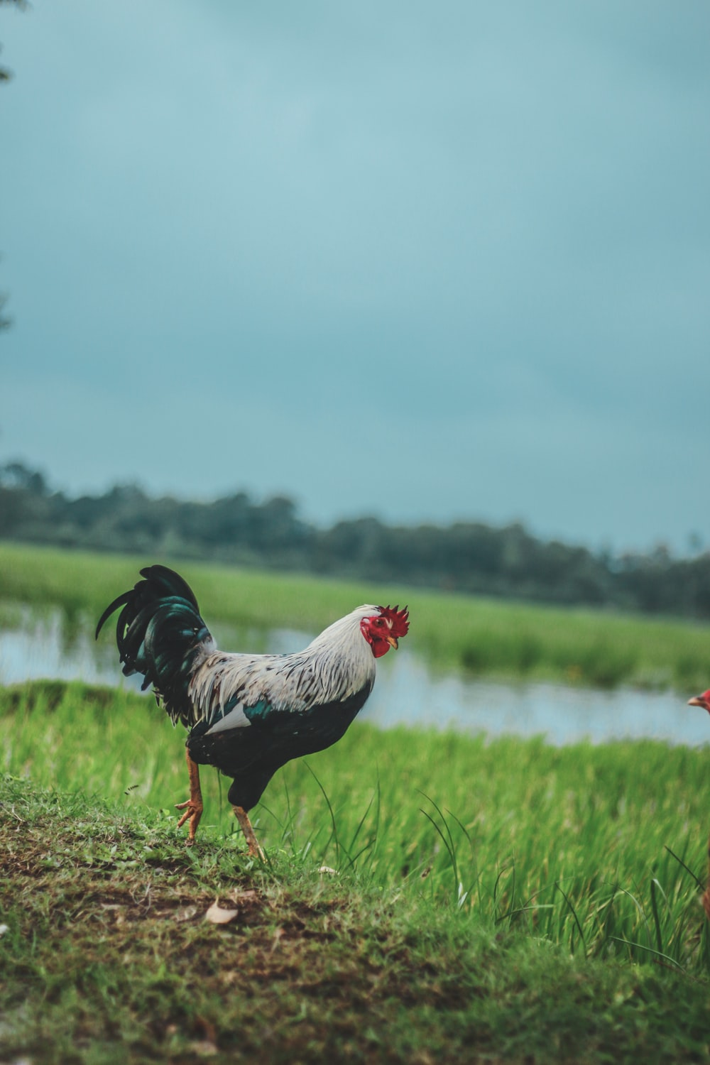 black and white rooster on grass field