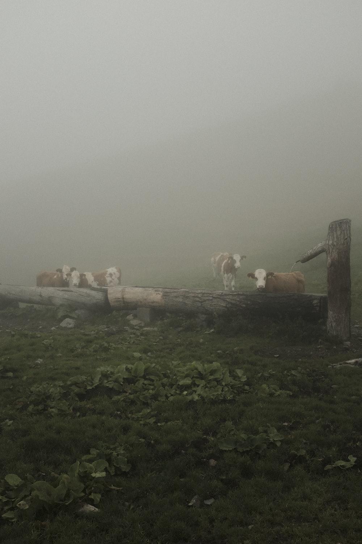 cattle near logs