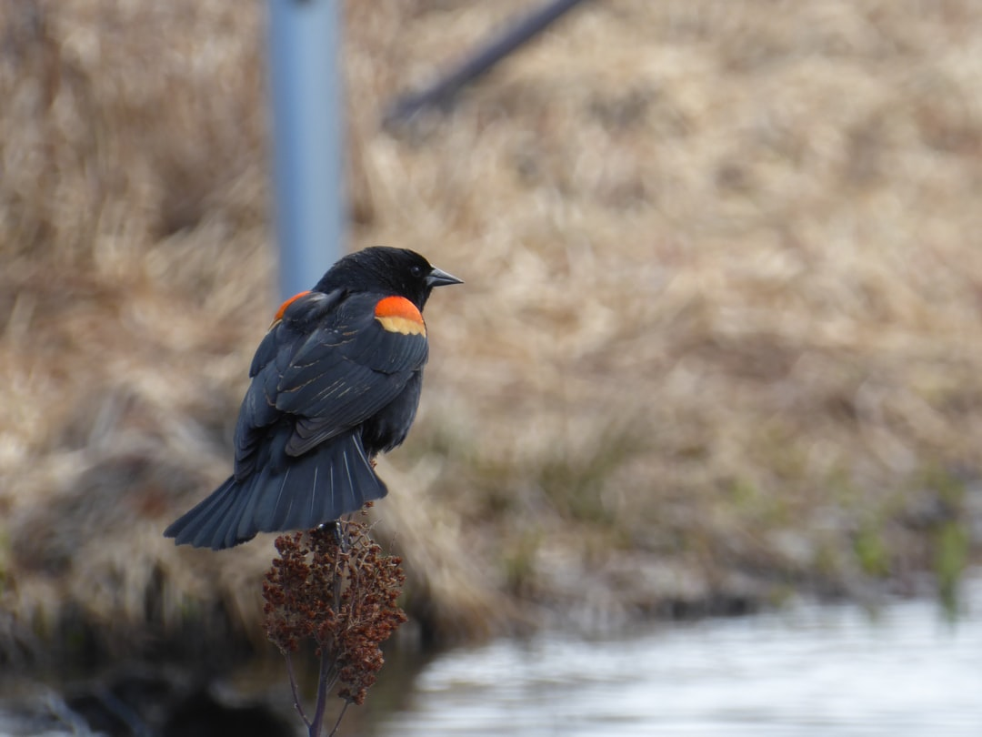 Red-winged blackbird, Burnaby BC