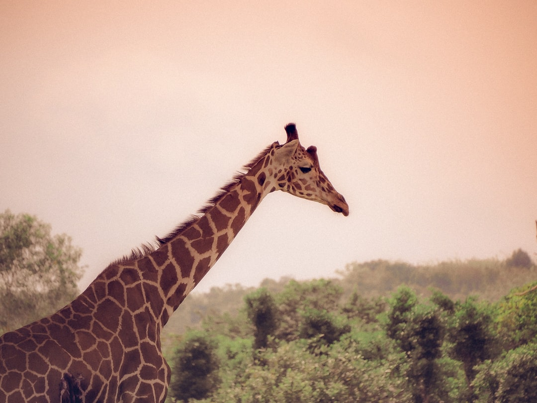 Giraffe from a wildlife sanctuary in the Philippines ----- If you love my work, please buy me a coffee!  https://ko-fi.com/goofffball