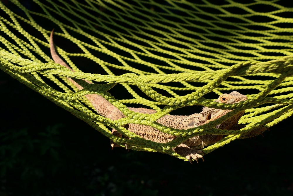 brown bearded dragon on green hammock