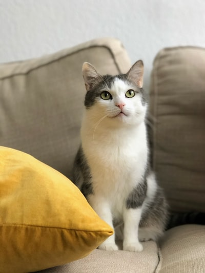short-furred gray and white cat on sofa