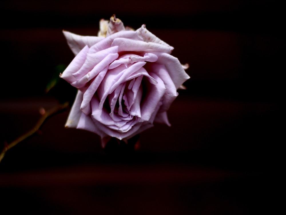blooming purple rose flower