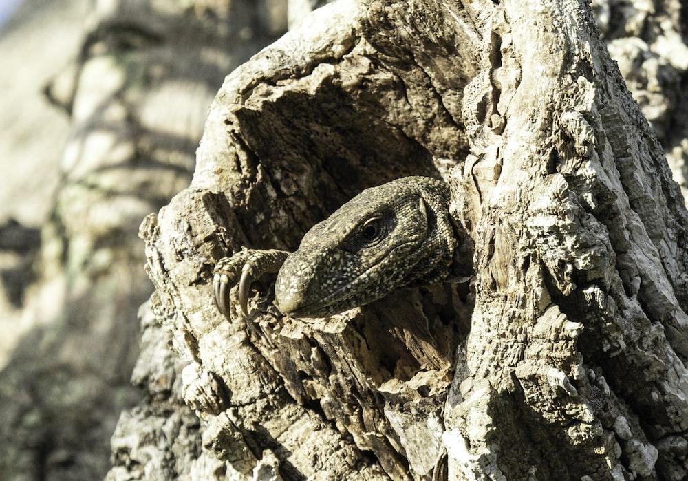 grey reptile on wood