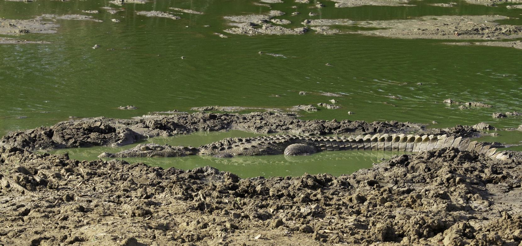 Crocodile - Yala national park