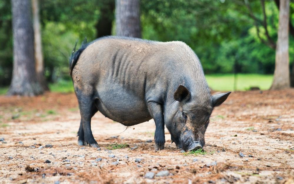 black boar photography