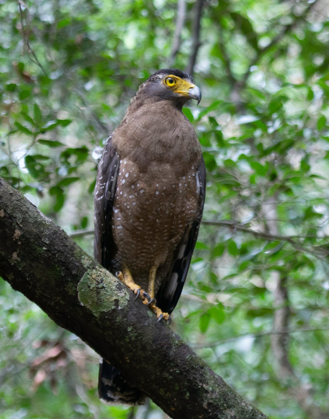 This serpent eagle was up bright and early during our Wilpattu safari.