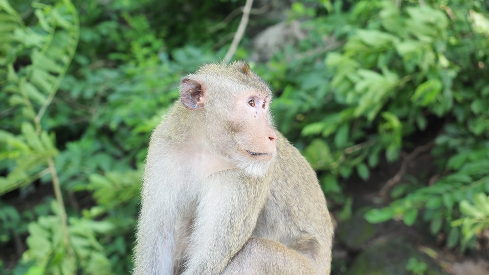 Rhesus macaque primate at the forest