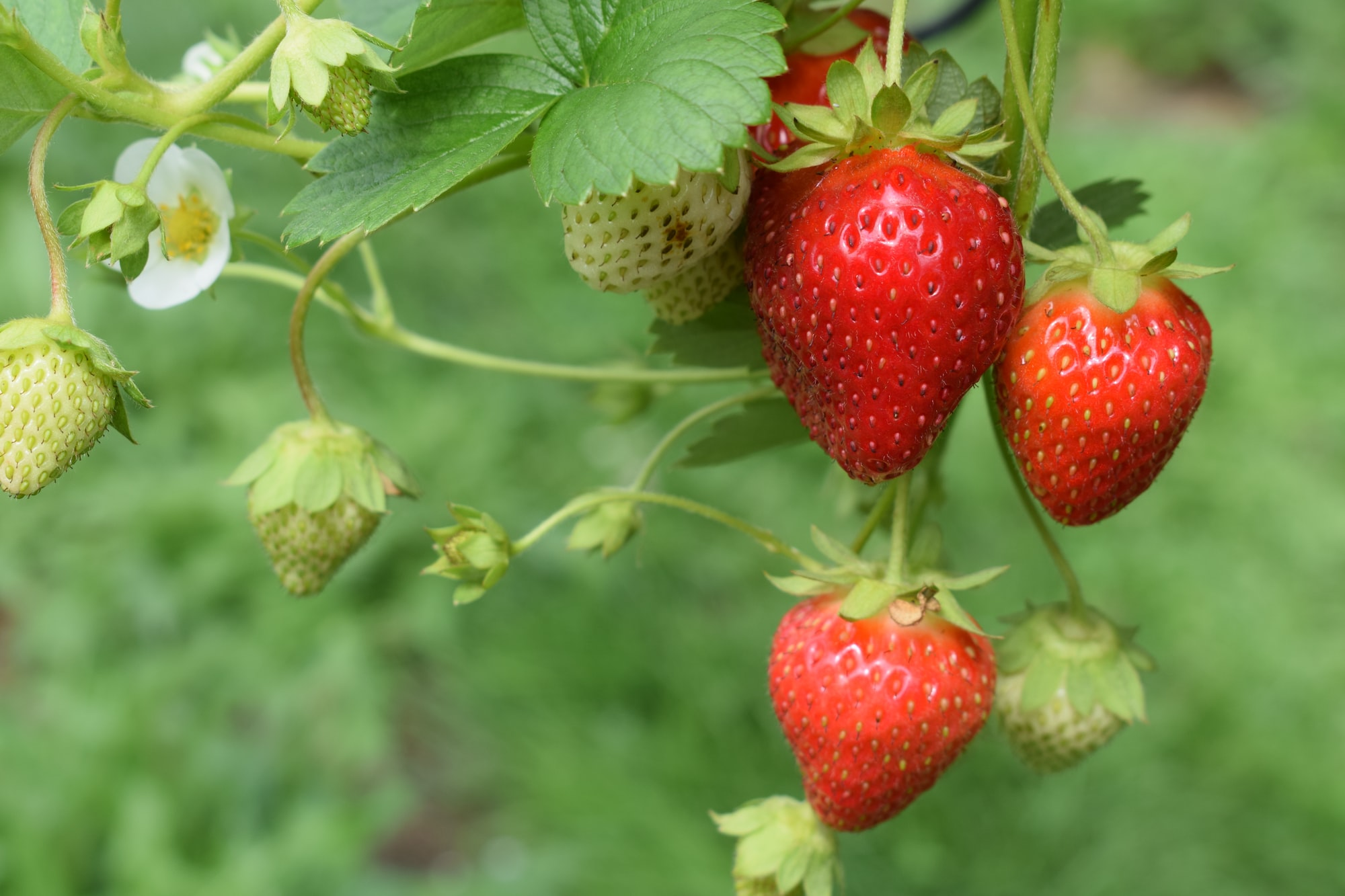 Strawberries: Small in Size But They Pack a Real Nutritional Punch