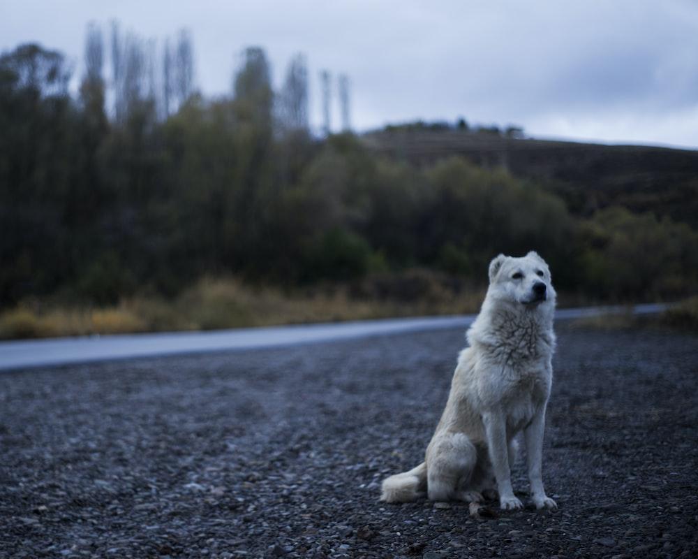 Long Haired White Dog Photo Free
