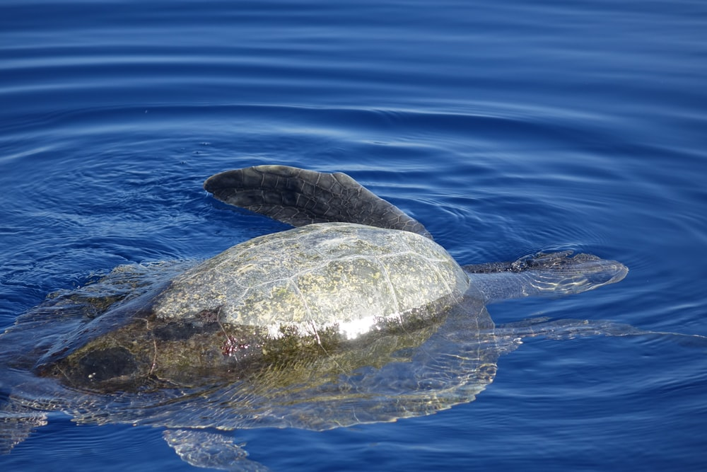 gray turtle in body of water