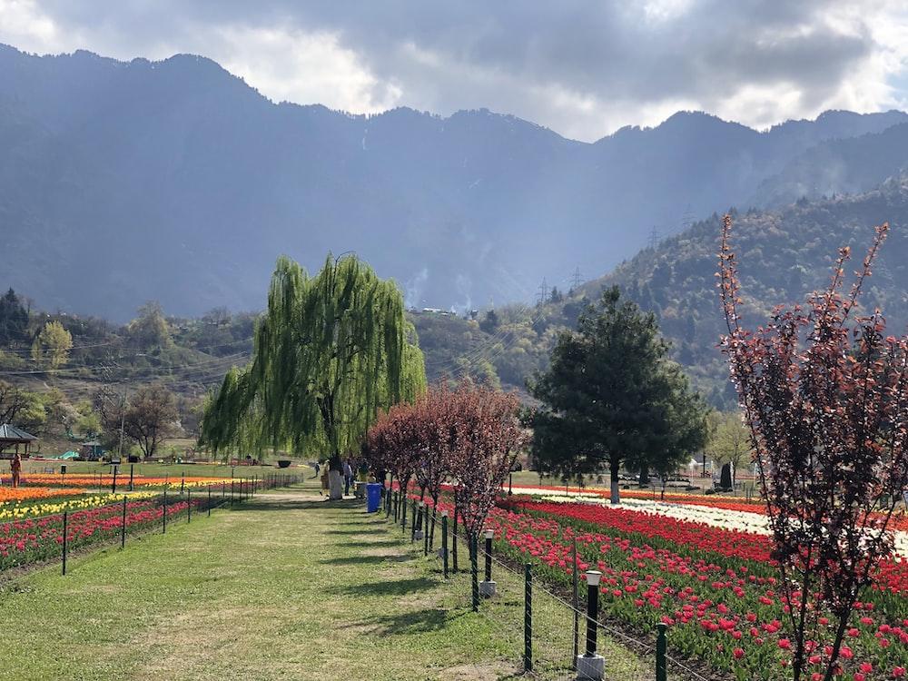 flower fields photo across mountain