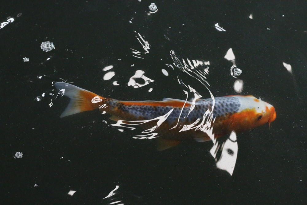 orange and gray koi fish macro photography