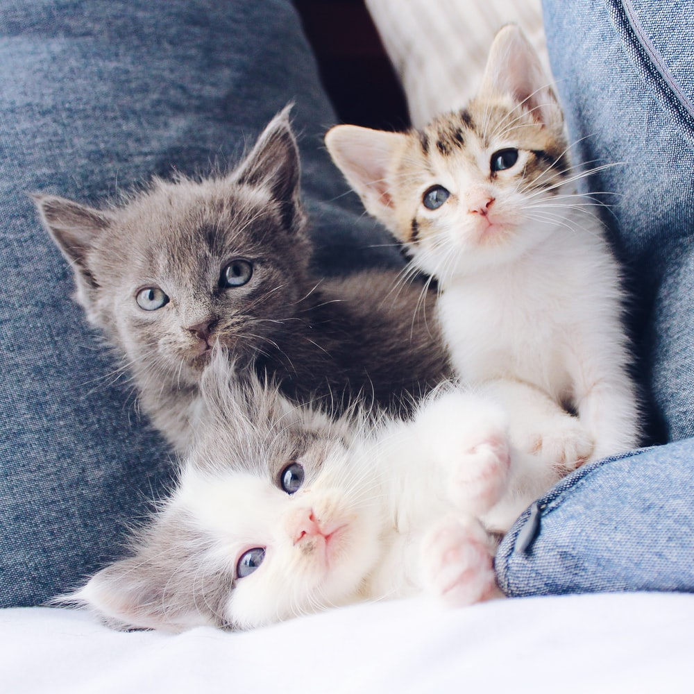 three assorted-color kittens