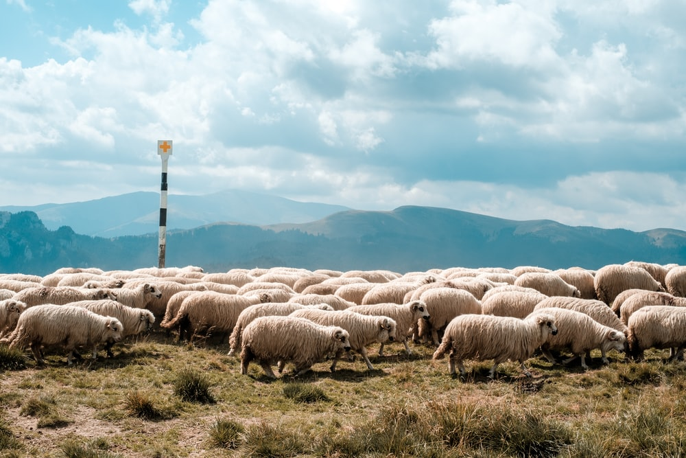 sheep lot