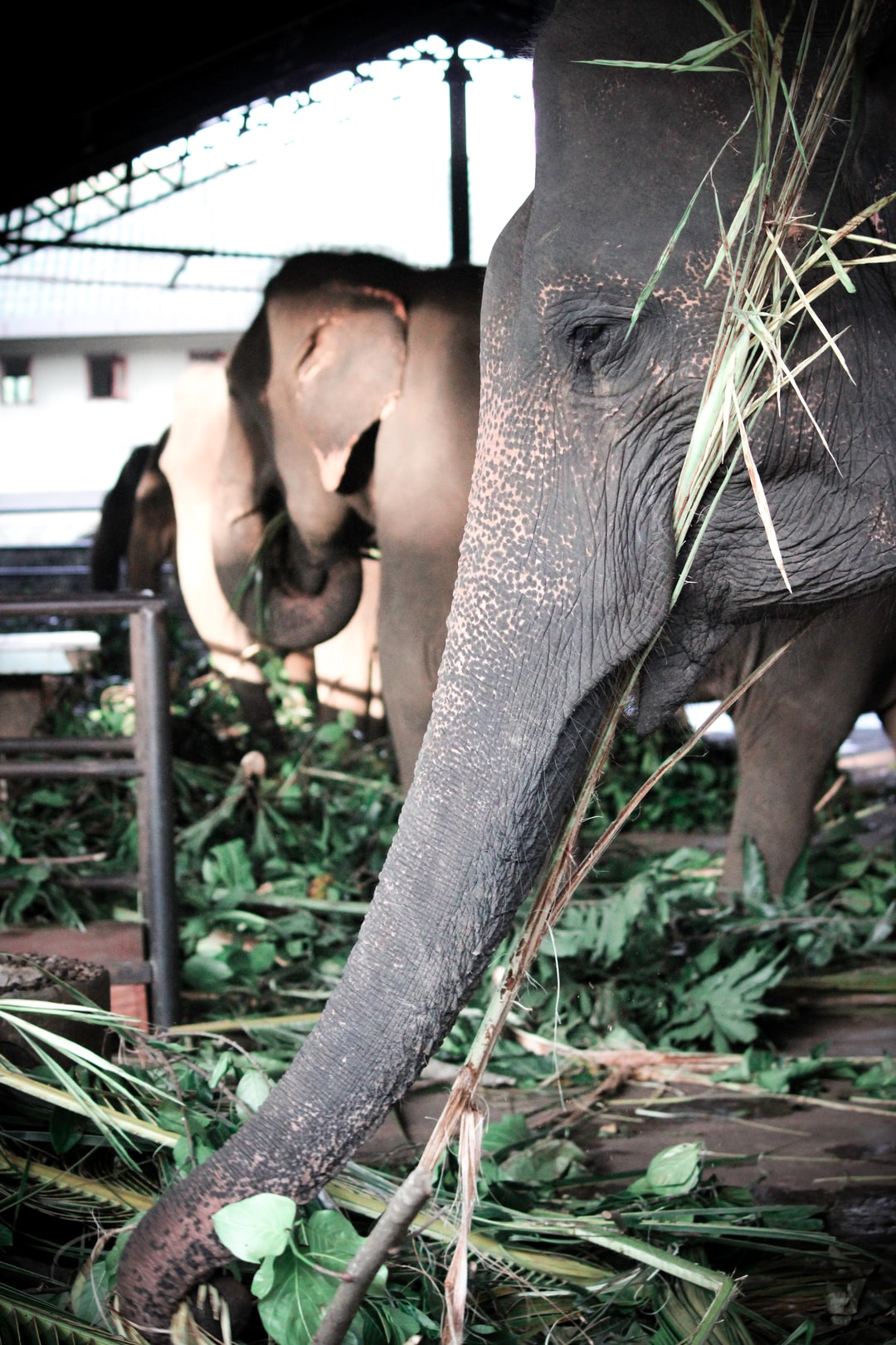 Elephants being fed at an orphanage