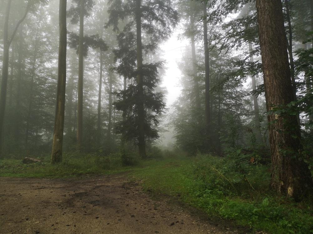 photo of foggy pine trees