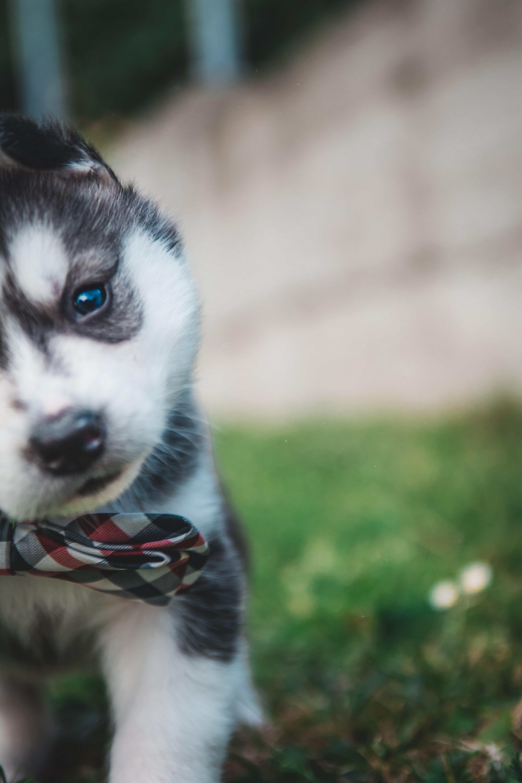 Black And White Siberian Husky Puppy Photo Free Animal Image On Unsplash
