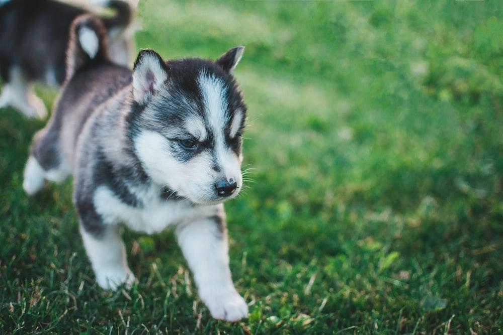 shallow focus photo of devil mask Siberian Husky puppy