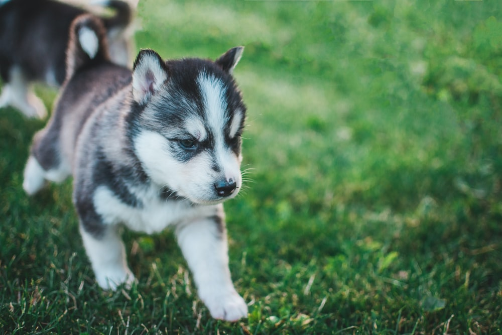 shallow focus photo of devil mask Siberian Husky puppy
