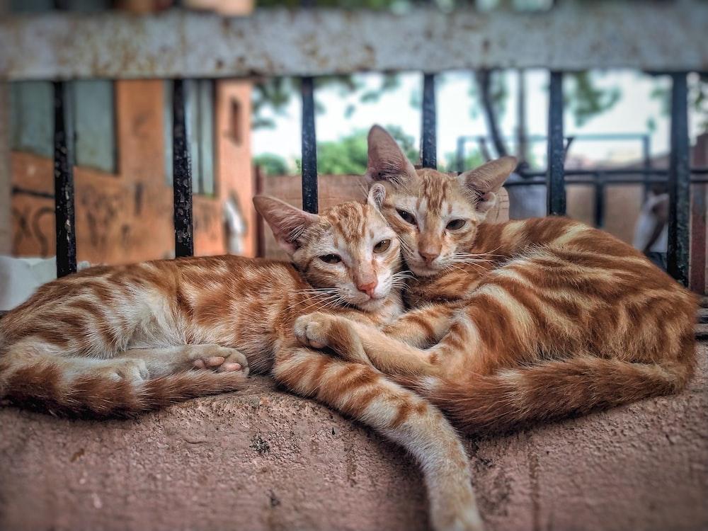two orange bengal cats
