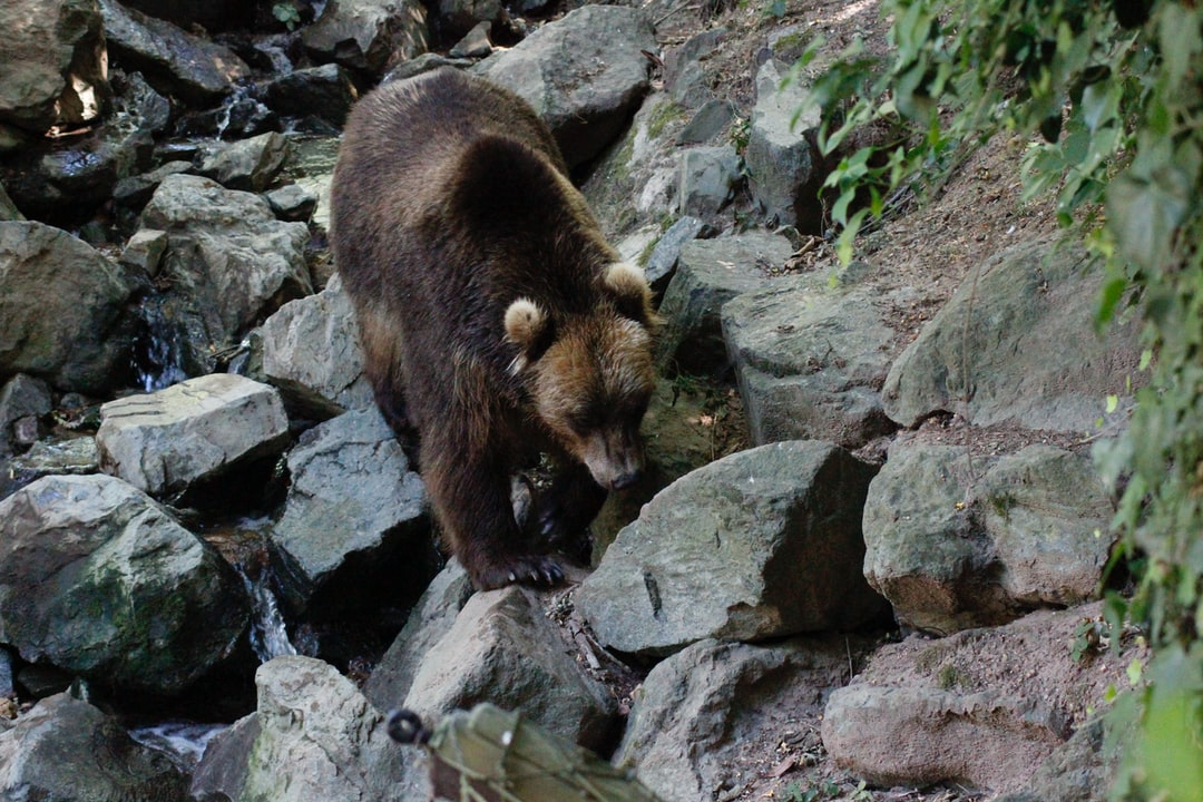 A bear in His River