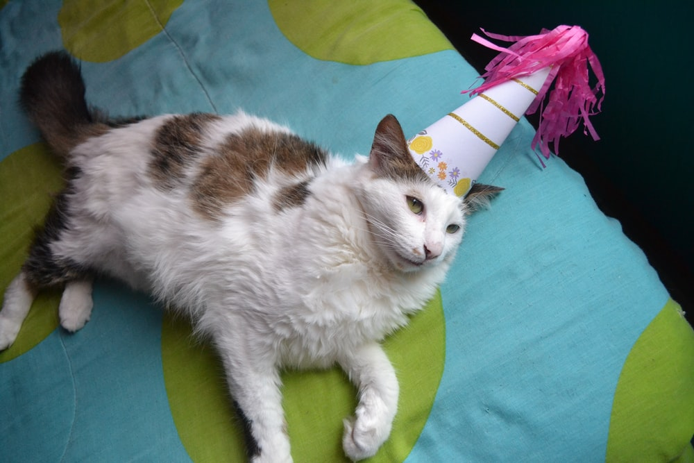 white and brown cat wearing white and pink party hat