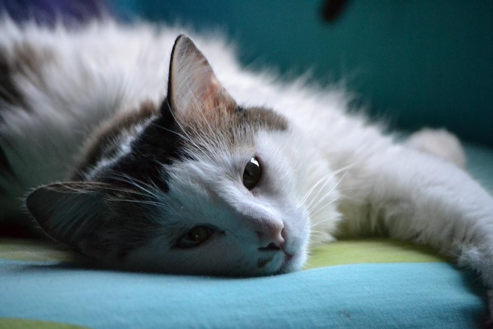 photo of white and gray cat
