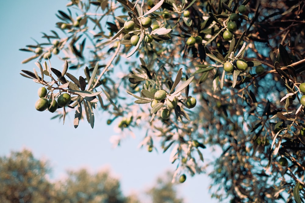 green tree with fruits