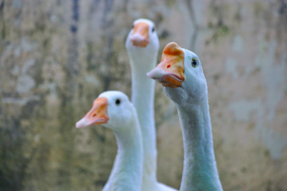 three white gooses