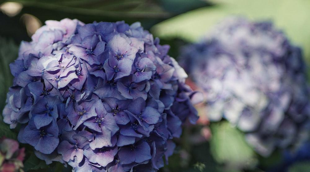 blue flower cluster