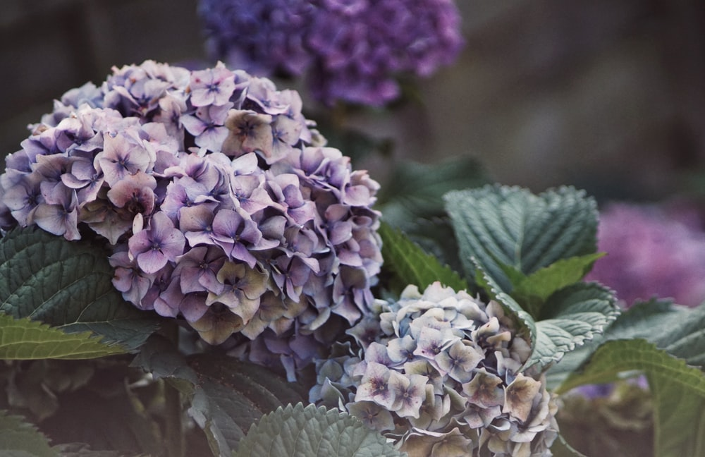 selective focus photography of purple hydrangea flowers