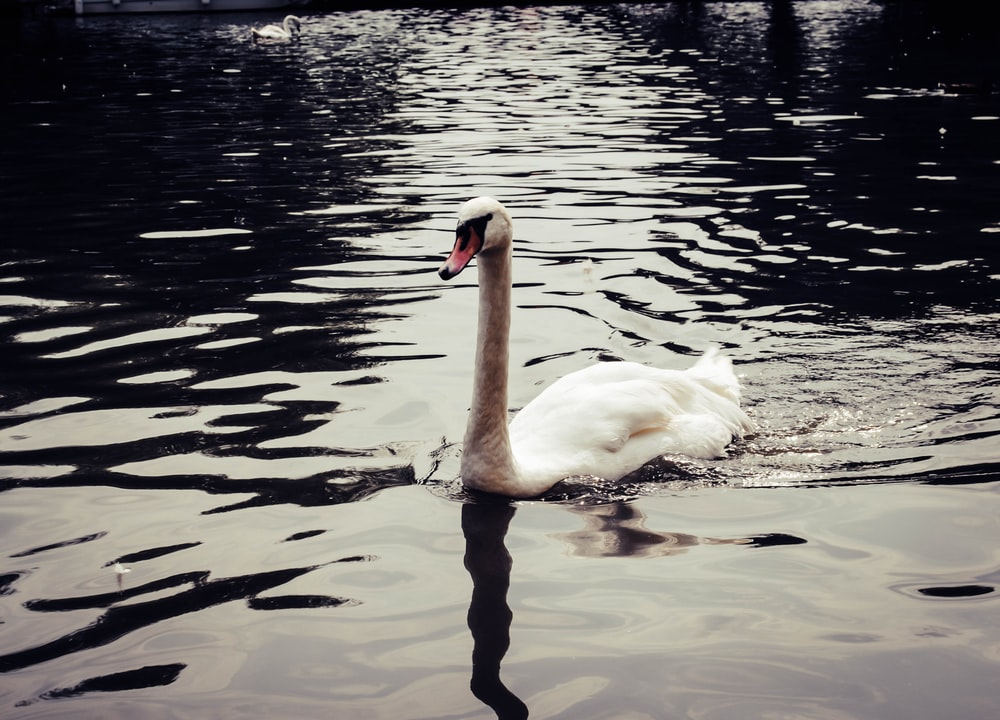 white swan on body of water close-up photography
