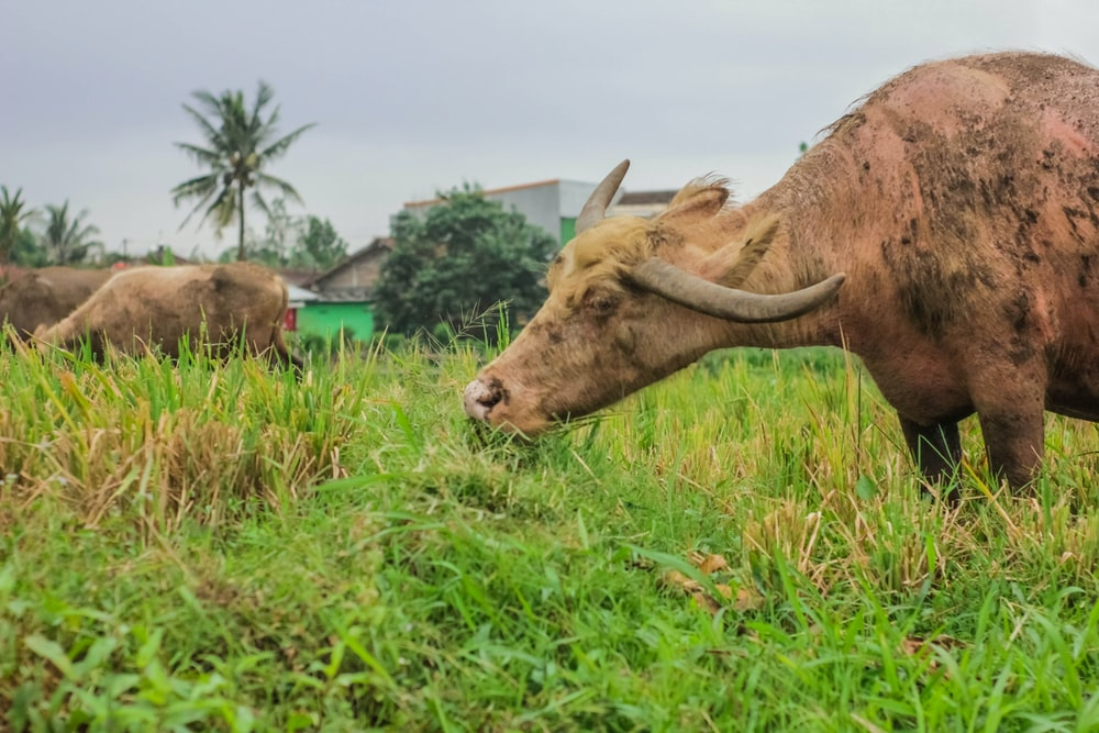 water buffalo standing on grass field at daytime