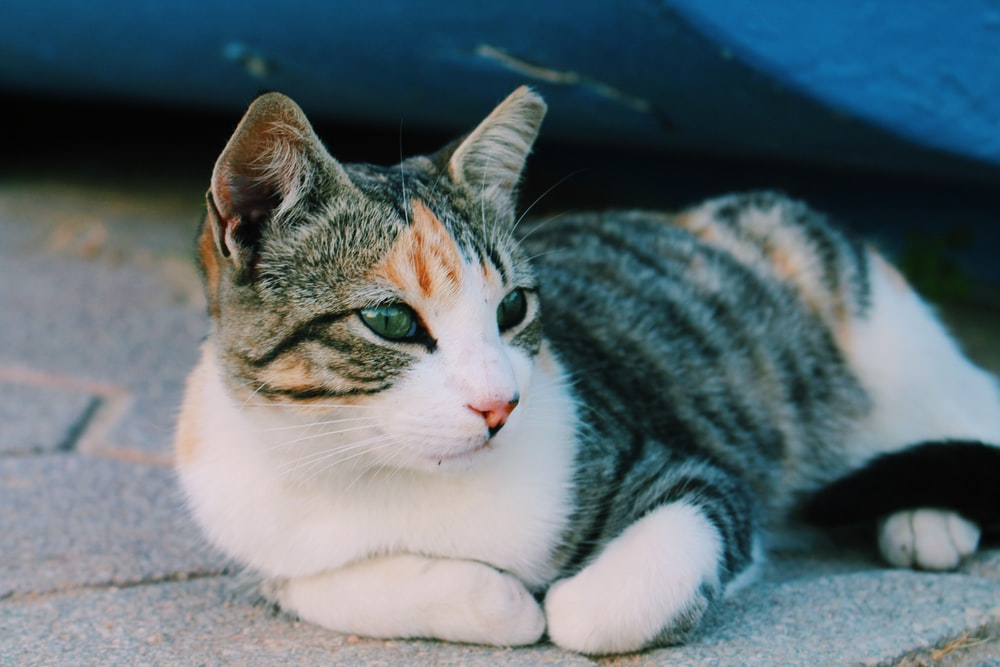 brown, white, and gray cat