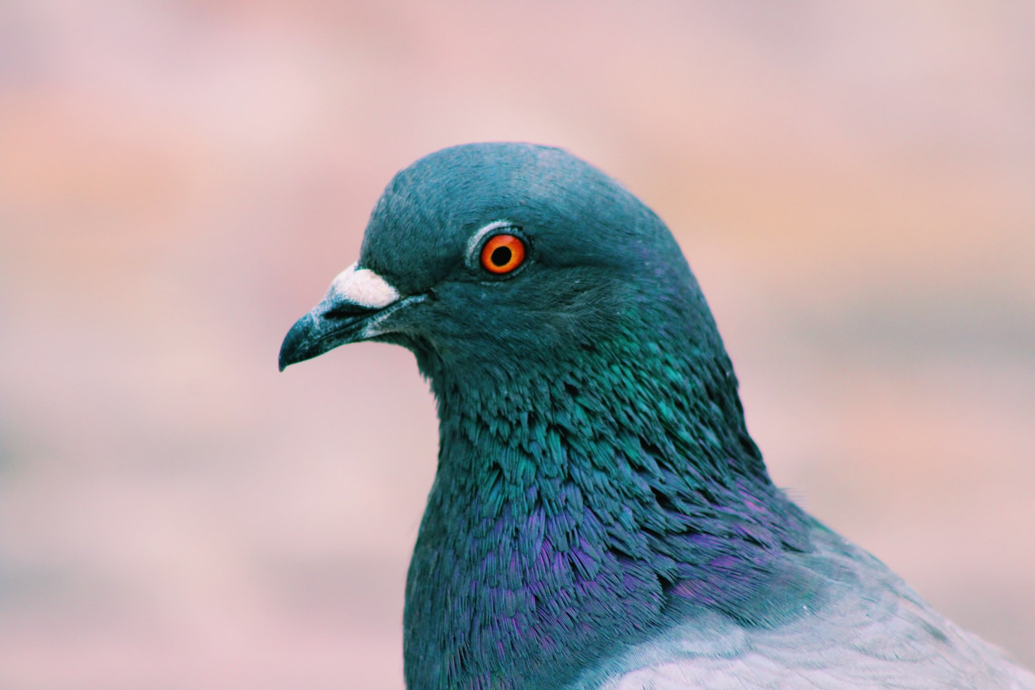 Close Up pic of Pigeon