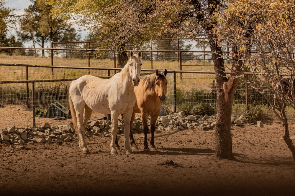 two brown and white horse near fence