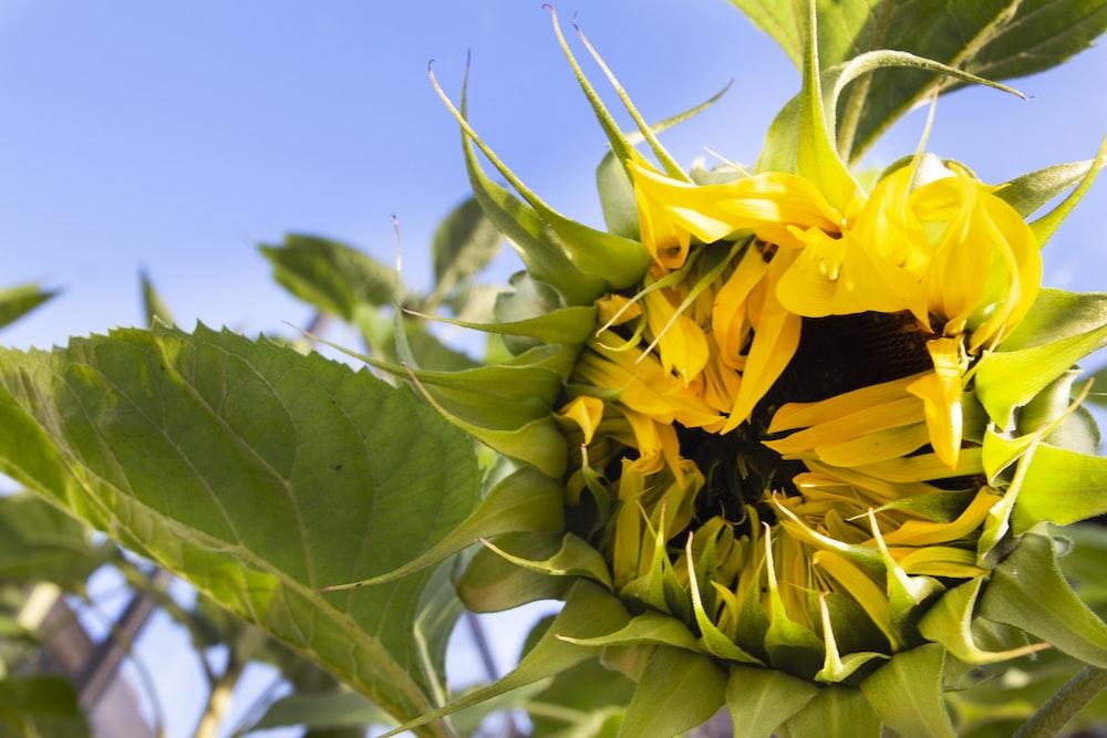 yellow sunflower in macro photography