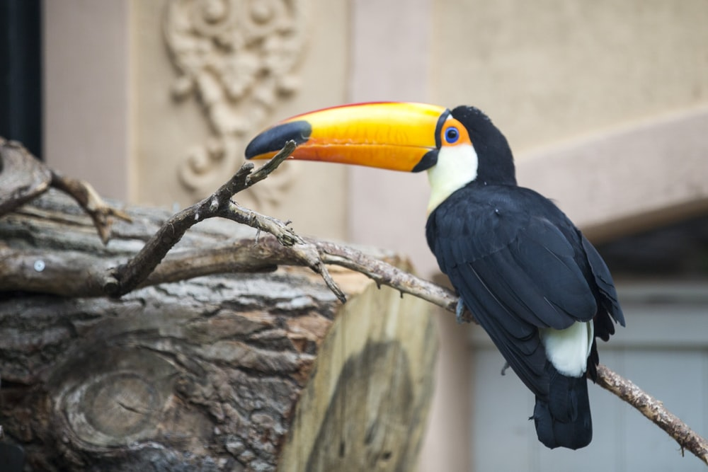 close-up photography of toucan