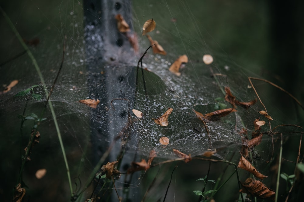 dried leaves on spider web