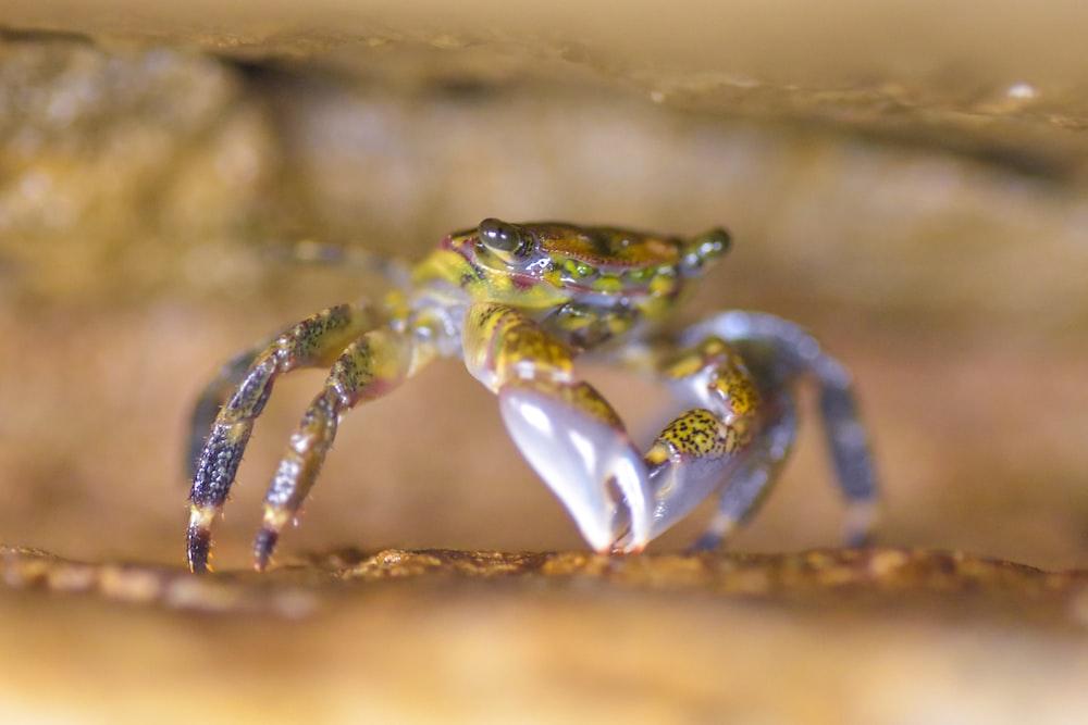 yellow and gray crab