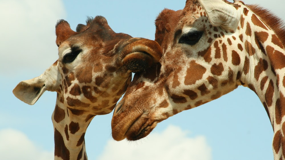 2 giraffes heads photo