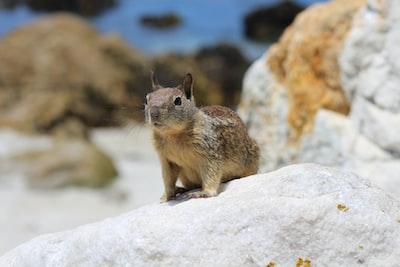 brown squirrel