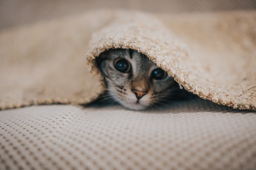 cat buried under blanket