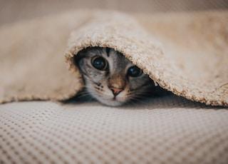 cat underneath blanket